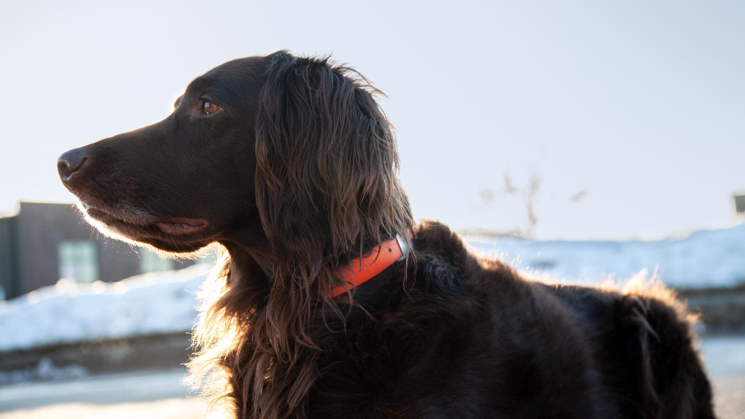 Deustch langhaar dog
